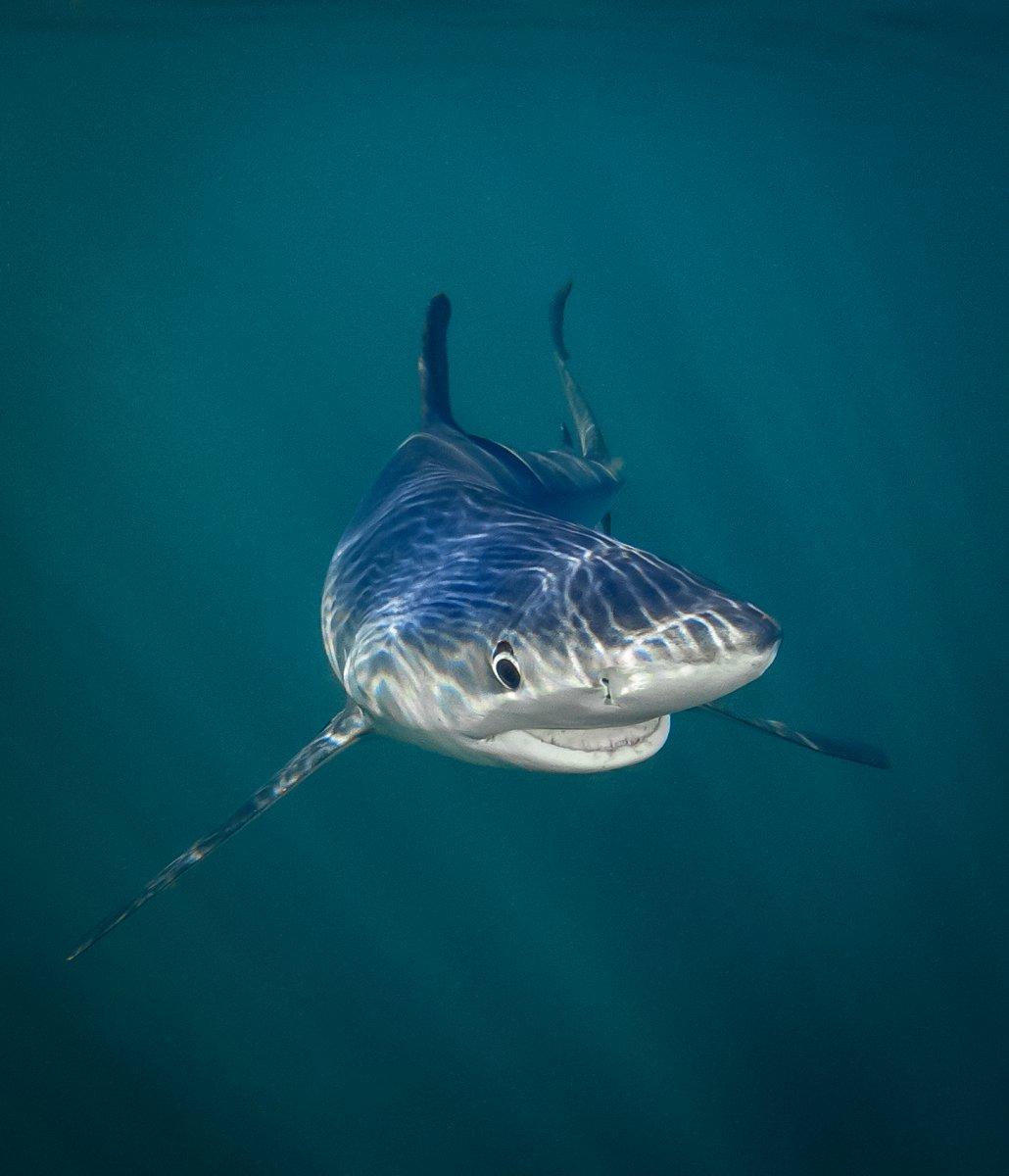 """Vencedor da categoria No fundo do mar: """"Tubarão Azul Sorridente"""", de Tanya Houppermans"""