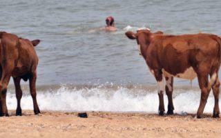 Vacas em uma praia da Crimeia. Foto: Lev Fedoseyev\TASS via Getty Images