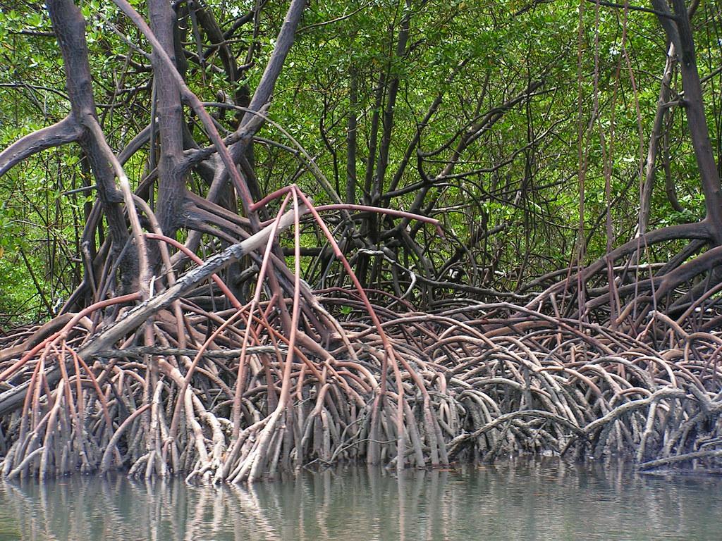 reflorestamento de mangues ações para ajudar o planeta